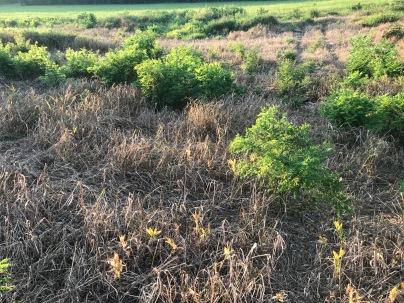 black locust not dead after RU Habitat